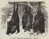 Flying Foxes in the Gardens of the Zoological Society, Regent's-Park