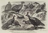 Indian Pheasants in the Gardens of the Zoological Society, Regent's-Park