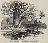 The Australian Gouty-Stem Tree