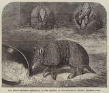 The Newly-Imported Armadillo, in the Gardens of the Zoological Society, Regent's Park