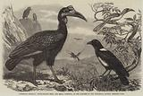 Abyssinian Hornbill, White-Necked Crow, and Small Hornbill, in the Gardens of the Zoological Society, Regent's Park