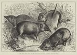 Pigmy Hogs from India at the Zoological Society's Gardens