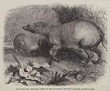 The Babirussa, recently added to the Zoological Society's Gardens, Regent's Park