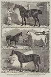 Prize Horses at the Agricultural Hall, Islington