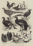 Exhibition of Game Birds and Bantams at the Crystal Palace