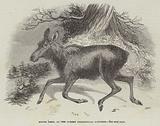 Moose Deer, at the Surrey Zoological Gardens