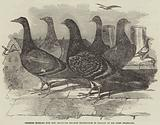Carrier Pigeons for the Renewed Branch Expedition in Search of Sir John Franklin