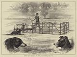 Sheep Dog Trials at the Alexandra Palace