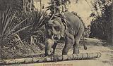 Ceylon Elephant at work