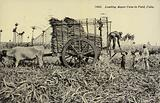 Loading Sugar Cane in Field, Cuba