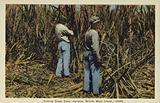 Cutting Sugar Cane, Jamaica, British West Indies