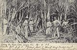 Cutting the Sugar Cane, Jamaica, West Indies