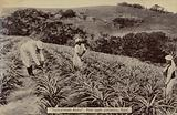 Postcard depicting a pineapple plantation in Natal