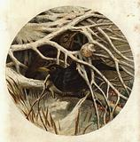 Blackbird and thrush, in covert