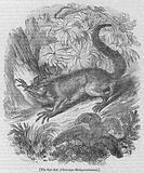 The Aye-Aye, Cheiromys Madagascariensis