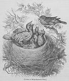 Cuckoo in Hedge-Sparrow's Nest