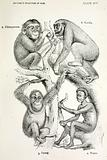 Evolution of man from apes