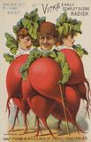Vicks Early Scarlet Globe Radish