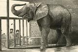 Jumbo, the big African elephant at the Zoological gardens