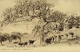 Barbados, Silk Cotton Tree, Clopham Plantation