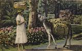 Woman talking to donkey, Barbados