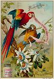 Perroquets Aras and Fleur de la Passion