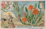 Joncine Cactus
