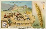 Threshing rye in Asia Minor