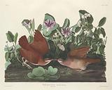 Key-west Dove