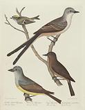 Swallow-tailed Flycatcher, Arkansas Flycatcher, Say's Flycatcher, and Female Golden-crested Wren