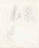 """Ornamental Study with Acanthus Motif for """"The Stones of Venice"""""""