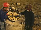 Children gathering potatoes on a large farm, vicinity of Caribou, Aroostook County, Me
