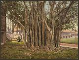 Rubber tree in the US barracks, Key West