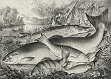 American game fish