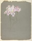 Study of Peony Stalk with Blossoms