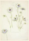 Study of Love-in-a-mist