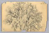 Study of elm tree