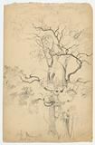 Study of Oaks at Dennings Point