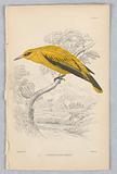 African Golden Oriole, Birds of Western Africa