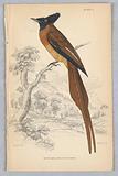 Rufus-Bellied Flycatcher, from Birds of Western Africa