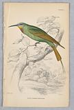 Blue-Cheeked Bee-Eater, from Birds of Western Africa