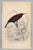 Fire-Backed Sunbird, from Birds of Western Africa