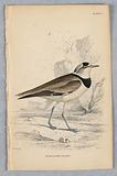 Black-Zoned Plover, from Birds of Western Africa