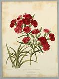 """Dianthus Hybridus Multiflorus, from Edward George Henderson's """"The Illustrated Bouquet"""""""