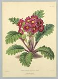 """Primula Sinensis Filicifolia Rubra, from Edward George Henderson's """"The Illustrated Bouquet"""""""