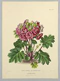 "Primula Praenitens, Var. Atrorosea Plena, from Edward George Henderson's ""The Illustrated Bouquet""."