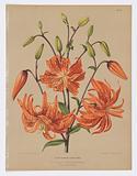 "Lilium Tigrinum Flore Pleno, from A C Van Eeden's ""Flora of Haarlem"""