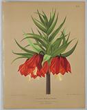 "Fritillaria Imperalis Maximus, from A C Van Eeden's ""Flora of Haarlem"""