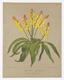 "Lachenalia Pendula and Lachenalia Quadricolour, from A C Van Eeden's ""Flora of Haarlem"""