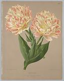 "Double Tulip Raphaël, from A C Van Eeden's ""Flora of Haarlem"""